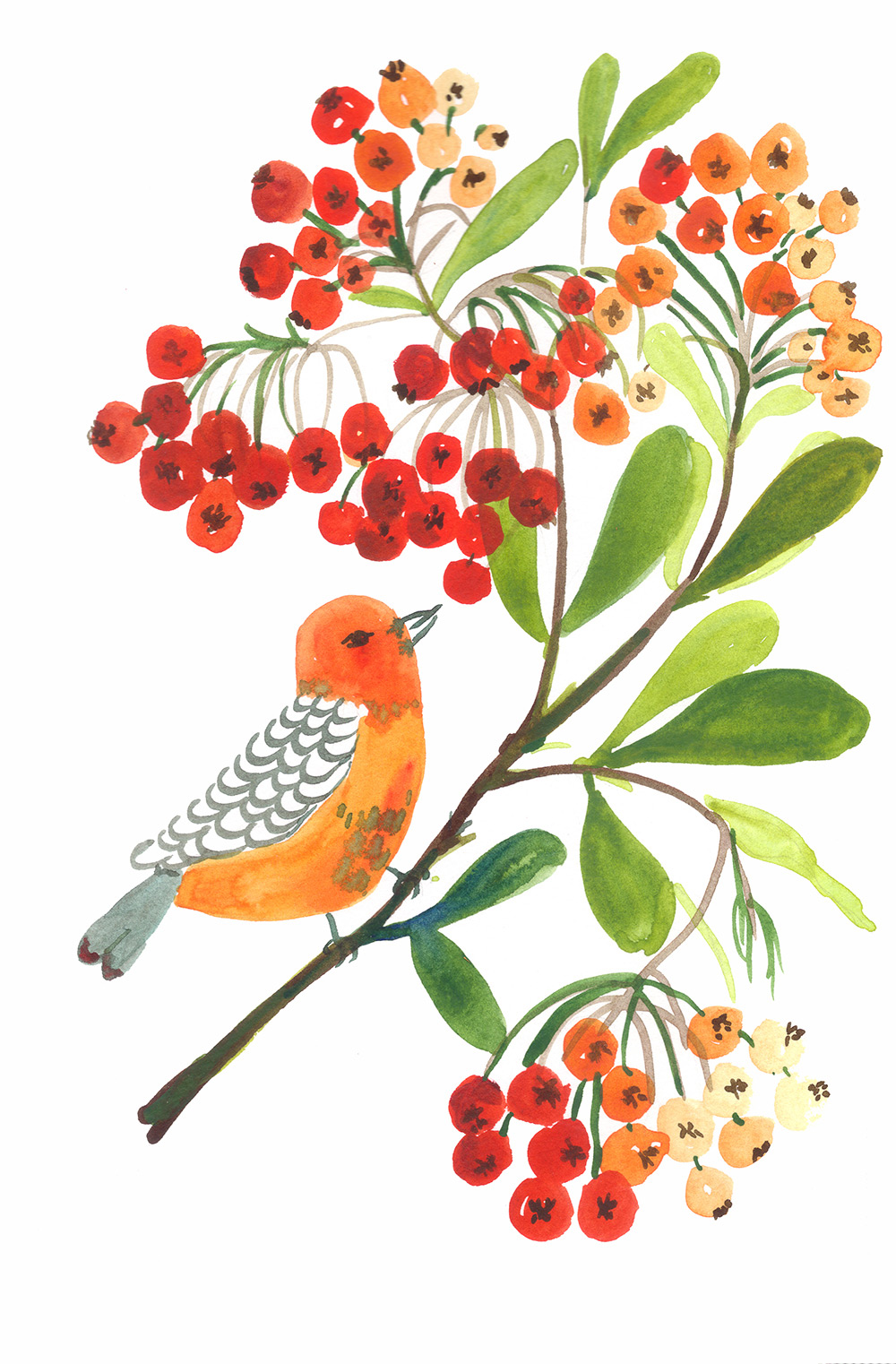 Little bird on a firethorn plant/ bush