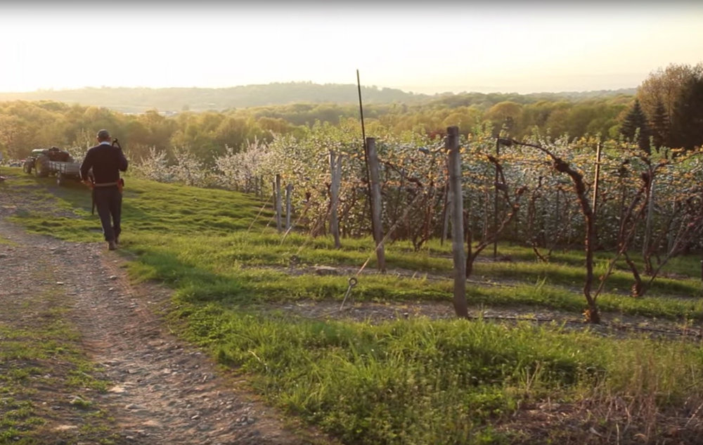 Walking in the vineyard at sunrise with clippers over the shoulder, hills in distance, fresh grass smell abounding