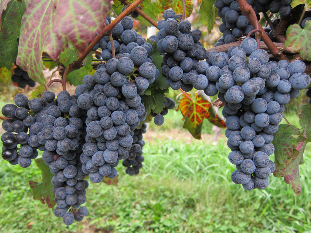 Wine grapes at Glorie Farm