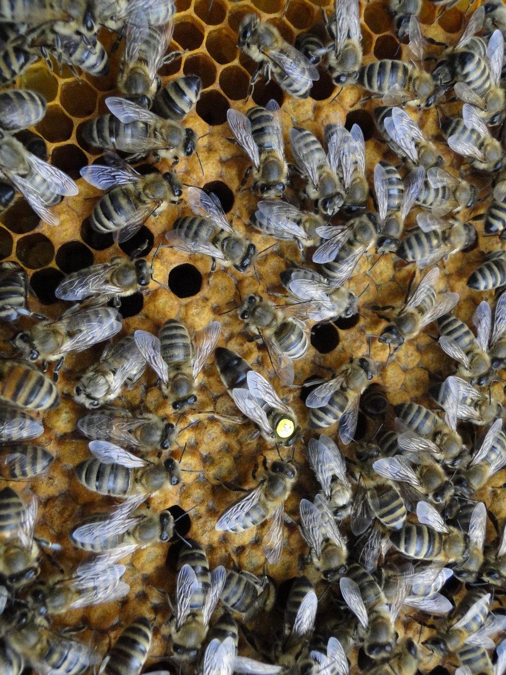Michal's best bee, the queen