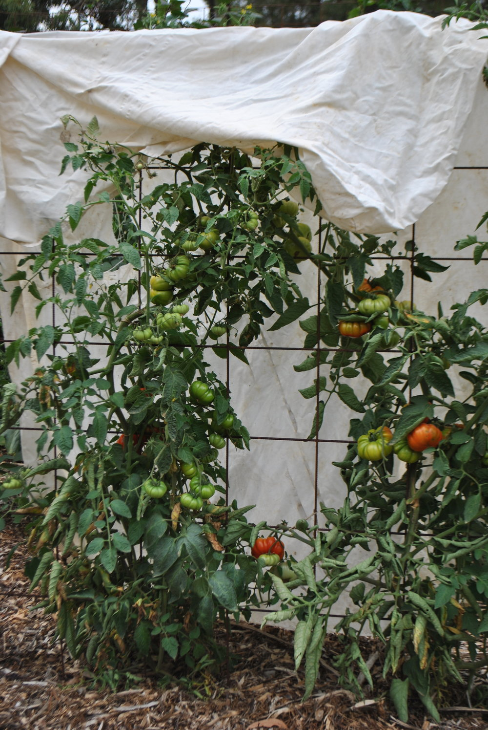 Drape an old sheet over your tomato plant…