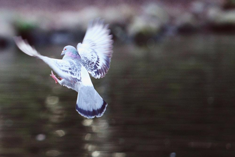 Granville Island pigeon