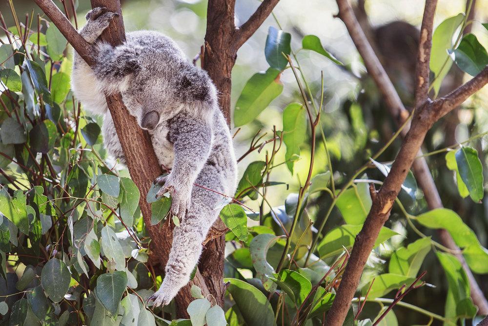 Koala, Gold Coast
