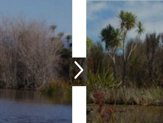 From Willows to Native Trees - Te Matapuna Wetlands