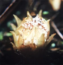 Dactylanthus taylori in flower