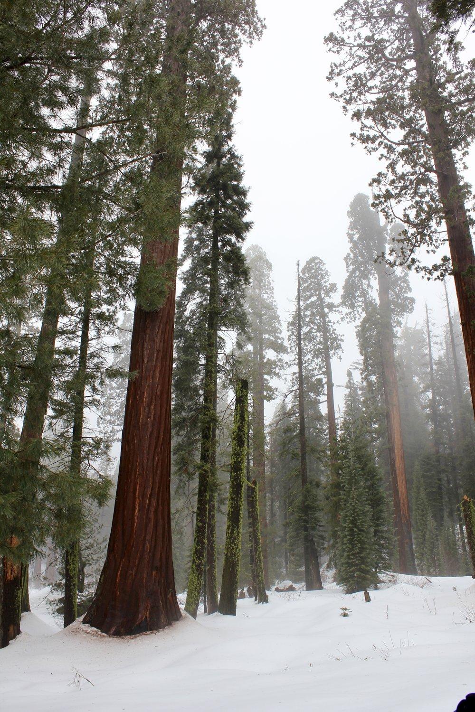 giant sequoia trees.jpg