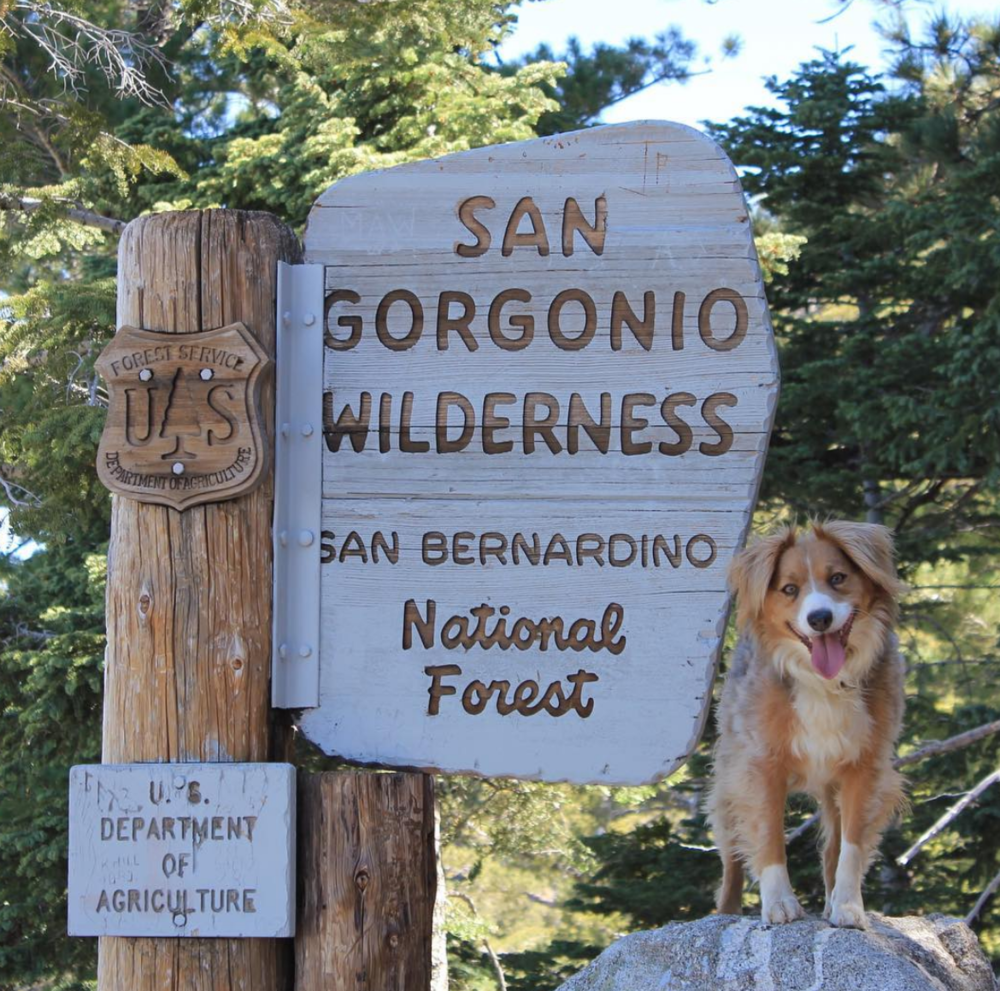 Sequoia the adventure pup