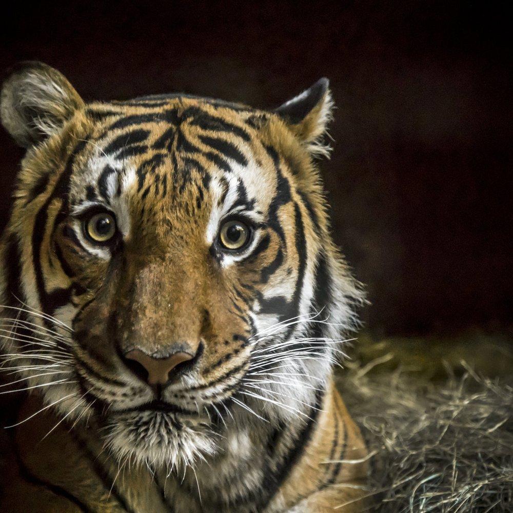 Tigers -
