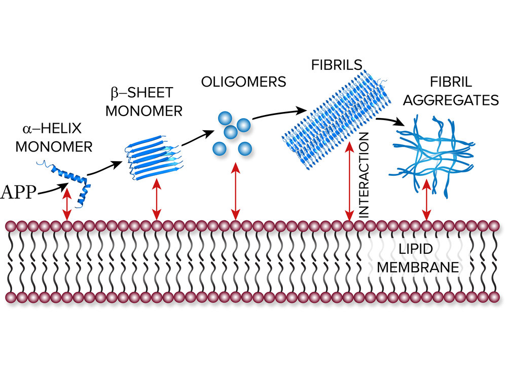 Schematics showing the proposed mechanism of the amyloid-β (Aβ) peptide fibril formation.