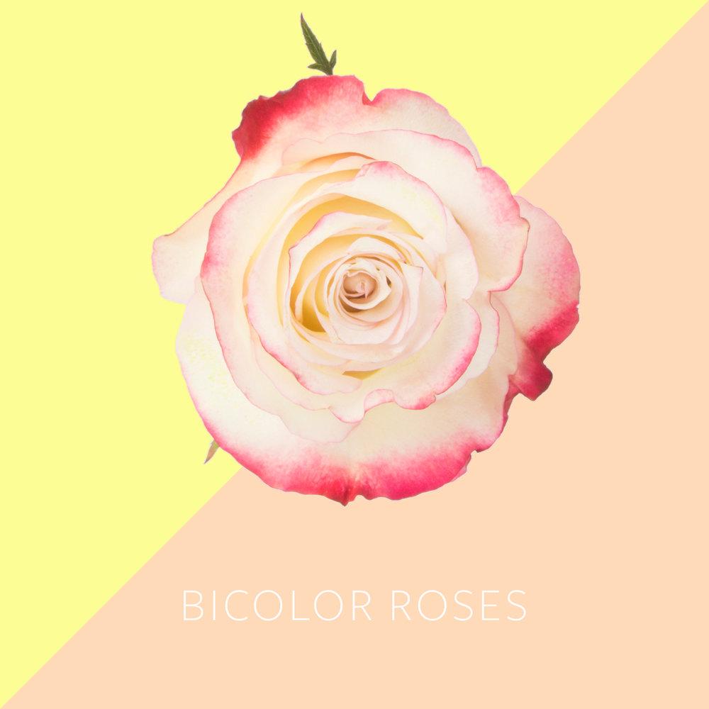 Bicolor Roses.jpg