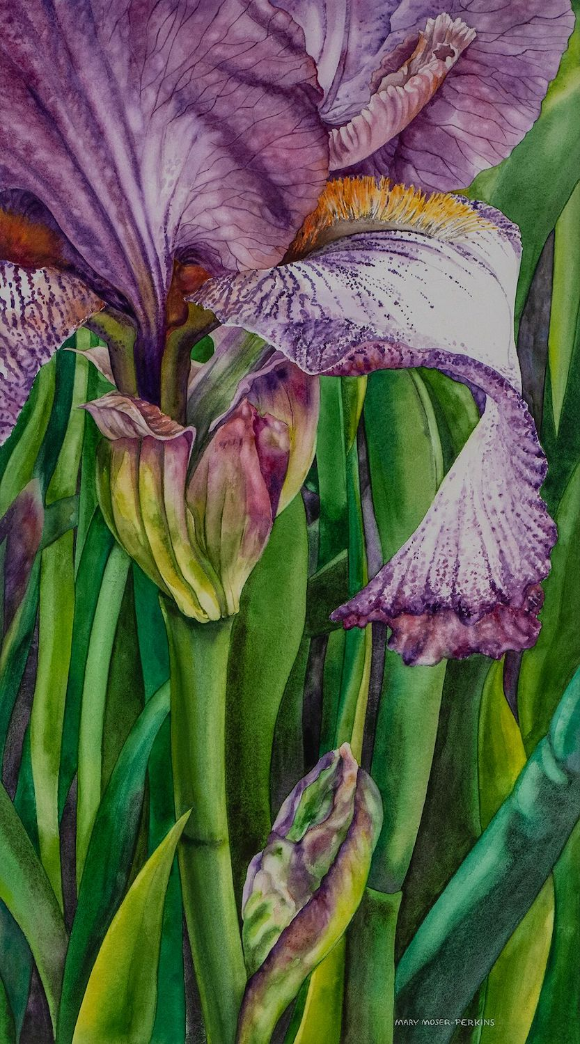 Purple Iris, watercolor on paper