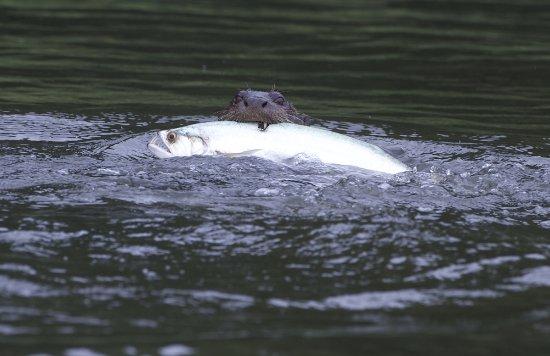 Giant River Otter - Photo: Rob Williams