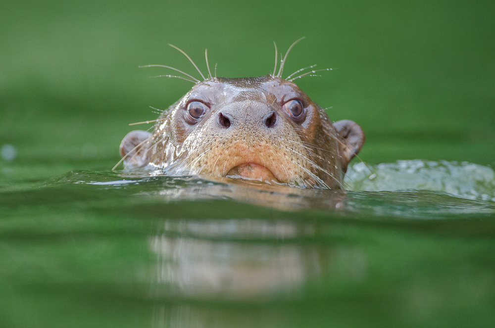 Giant River Otter - Photo: Bertie Gregory