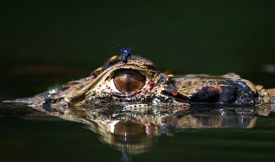 Black Caiman – Photo: Rob Williams