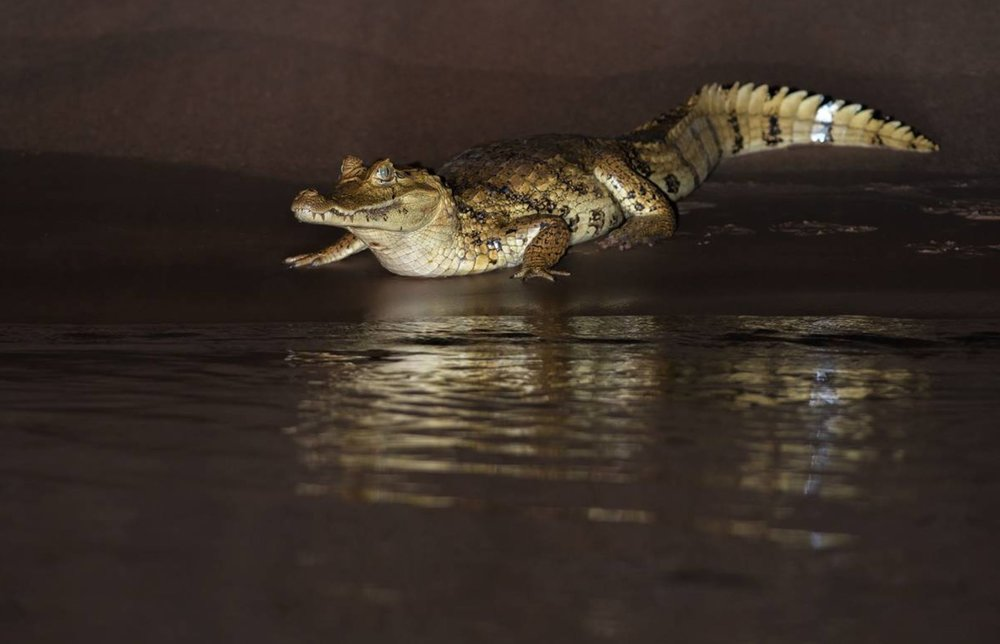 Spectacled Caiman - Photo: Alfredo Fernandez