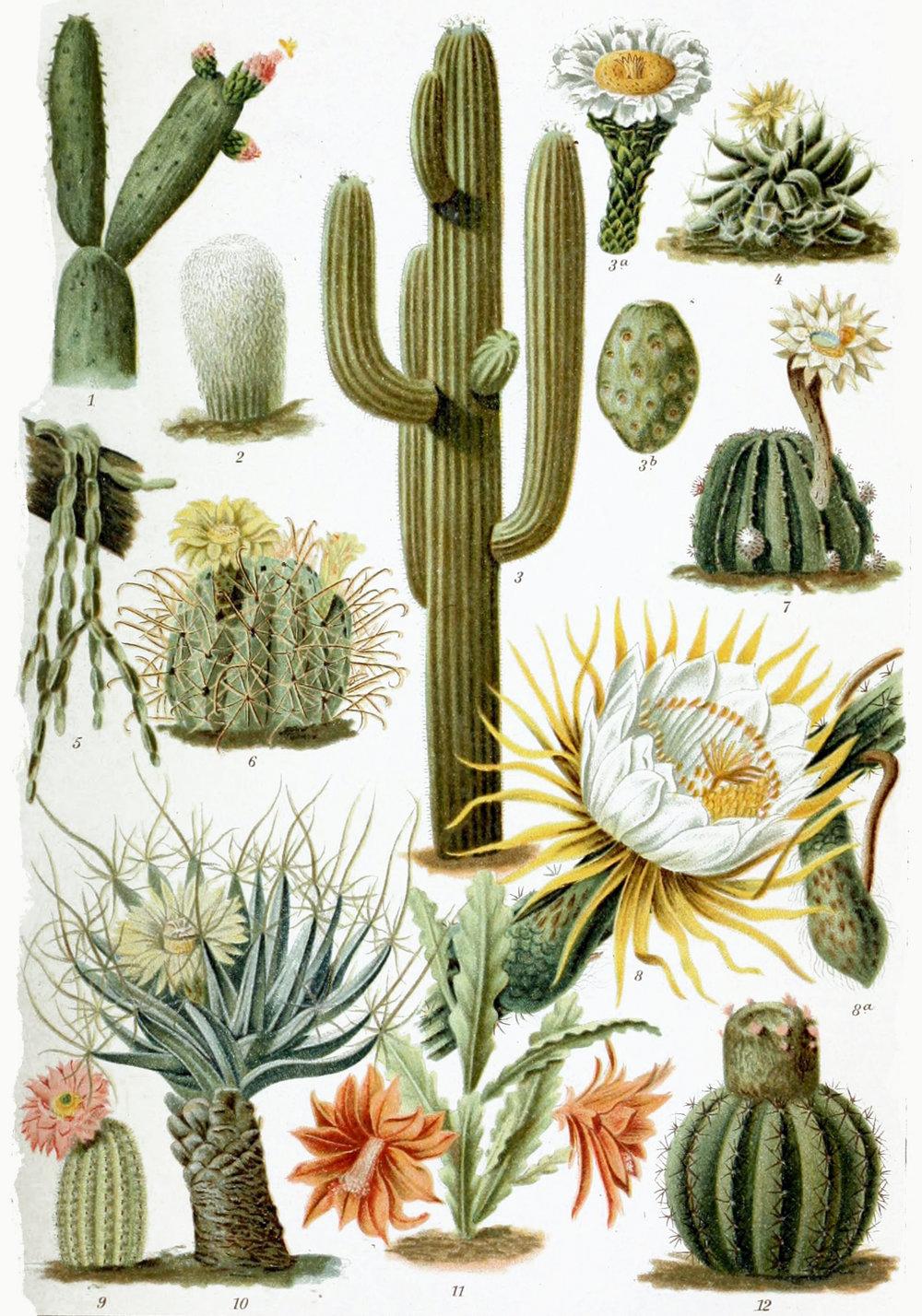 Various_Cactaceae.jpg
