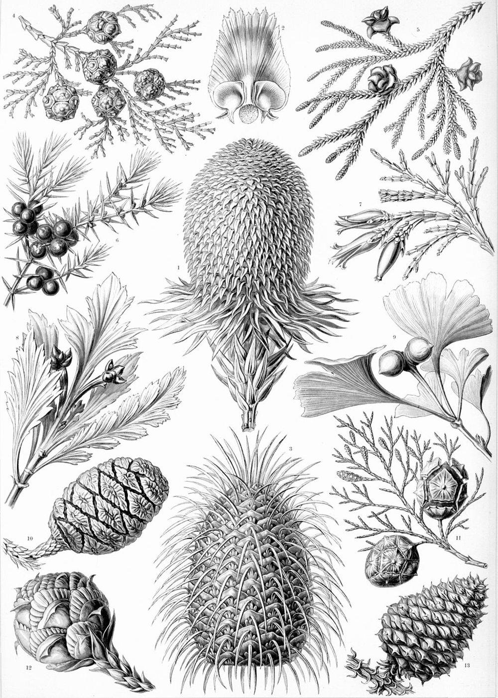 Coniferae     from   Kunstformen der Natur   (Art Forms in Nature) by German biologist  Ernst Haeckel .