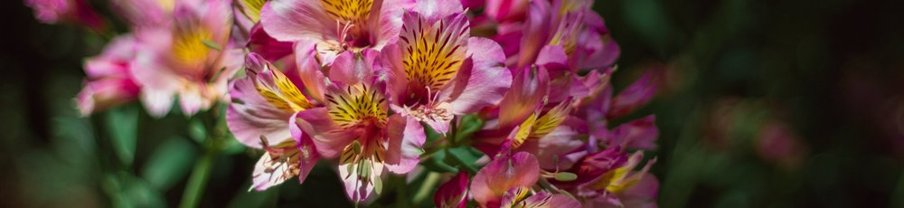 Alstroemeria | San Francisco, California | 2018