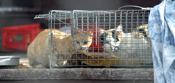 FAQs-About-Trap-Neuter-Return-TNR.jpg