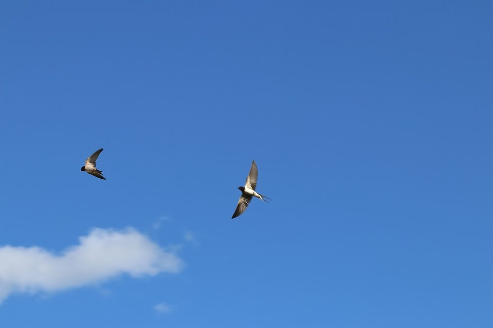 sparrows-2555418_1280.jpg