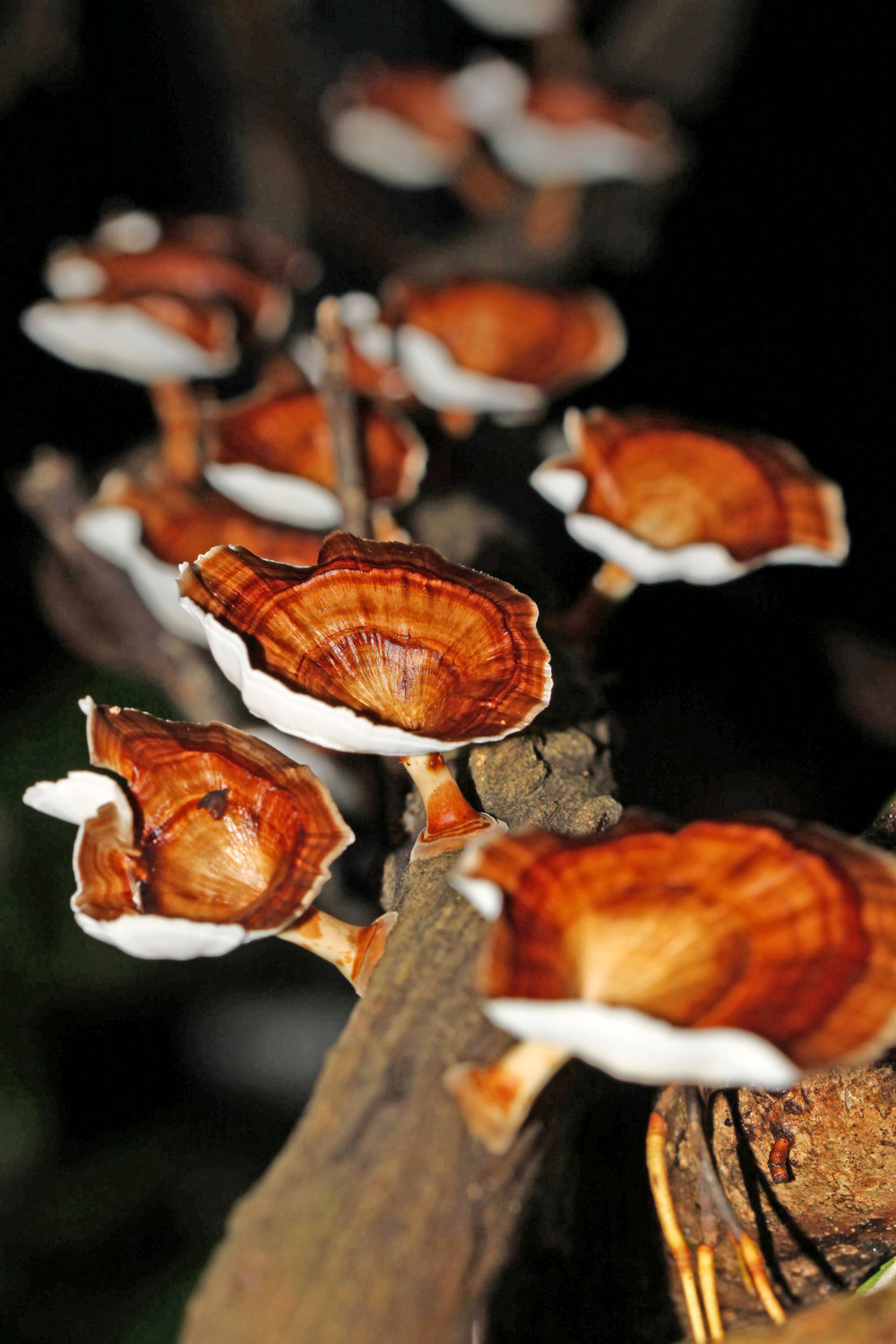 Reishi - One of the most important effects of the reishi mushroom is that it can boost your immune system.