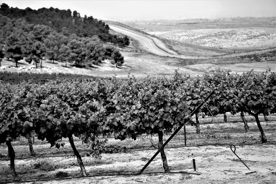 Rebberg im Yatirwald mit Blick auf das südliche Westjordanland.