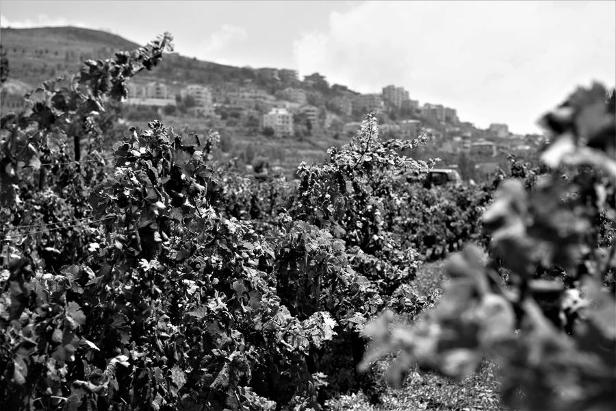 Reben von Château Belle-Vue, Bhamdoun, Libanon