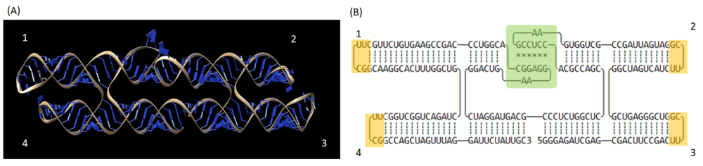 Figure 13  (A) The 3D illustration and (B) 2D ribbon model of 2-helices RNA origami without RNA aptamers, 2HO-RNA-NNNN. The numbers represent four possible positions to tether RNA aptamer on RNA origami. Tetra-loops (aptamer attachment sites) represented in yellow boxes and the kissing loop is indicated in a green box