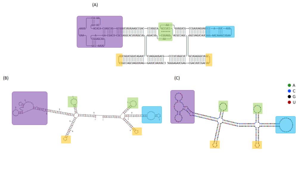 Figure 16  (A) The 2D model of 2HO-RNA-12NN and computational simulation of RNA folding analyzed by (B) mfold and (C) NUPACK. Tetra loops and kissing loop are indicated in yellow and green boxes, respectively. Exosite 1 and 2-binding RNA aptamers are represented in purple and blue rectangles, respectively
