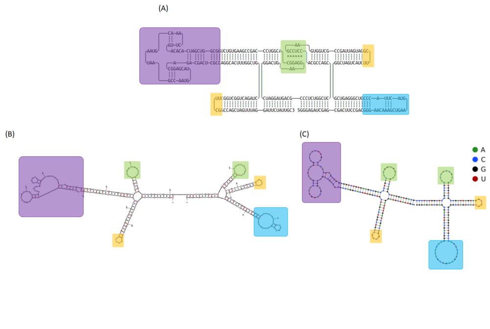 Figure 17  (A) The 2D model of 2HO-RNA-1N2N and computational simulation of RNA folding analyzed by (B) mfold and (C) NUPACK. Tetre loops and kissing loop are indicated in yellow and green boxes, respectively. Exosite 1 and 2-binding RNA aptamers are represented in purple and blue rectangles, respectively.