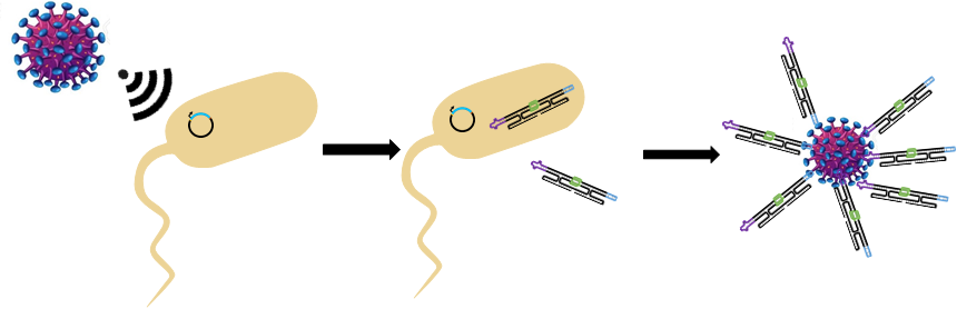 Figure 3  Smart cells detect signal from invader and produce RNA origami to bind the invader