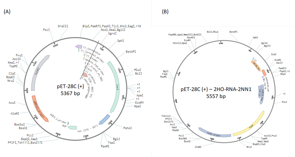 Figure 5  Plasmid map without (A) and with insertion, 2HO-RNA-2NN1 (B). The plasmid map kindly produced by Michael Nguyen, Ph.D. student from Aarhus University