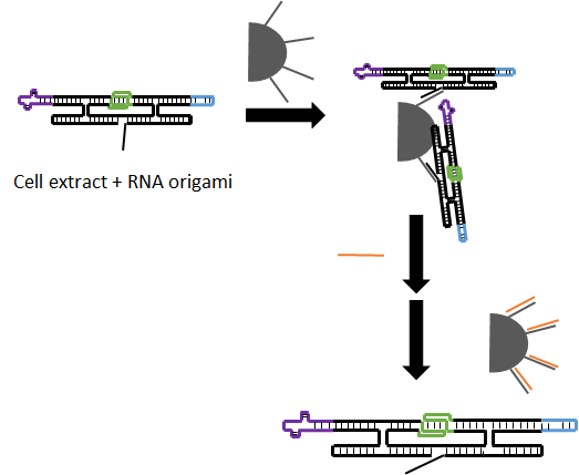 Figure   8  Purification of RNA origami from in vivo production by using magnetic bead and strand displacement interaction. Magnetic beads are represented by grey half-circle. Remover strand, ssDNA, depicted as orange lines.