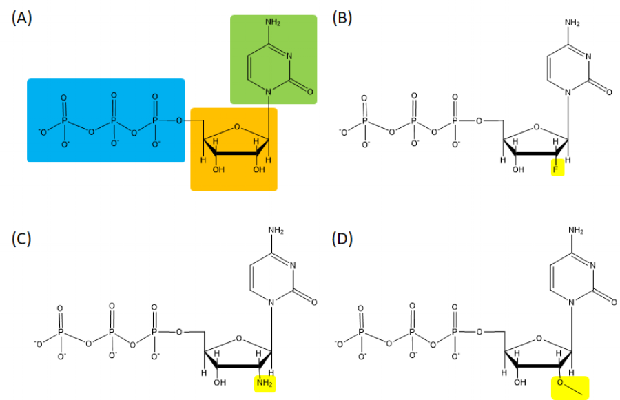 Figure 1  (A) Native nucleotide, Cytidine-5'-Triphosphate (CTP) and (B-D) modified nucleotides : (B) 2'-fluoro-2'-deoxycytidine-5'-triphosphate (2'F-dCTP), (C) 2'-amino-2'-deoxycytidine-5'-triphosphate (2'-amino-dCTP) and (D) 2'-O-methylcytidine-5'-triphosphate (2'-O-Methyl-CTP). Cytosine, ribose sugar, triphosphate, and 2' modification are indicated in green, blue, orange, and yellow rectangle, respectively.