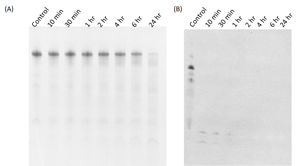 Figure 2  The stability test of modified (A) and non-modified (B) RNA origami treated with 10 µg/ml RNase A. The samples were characterized by denaturing gel electrophoresis