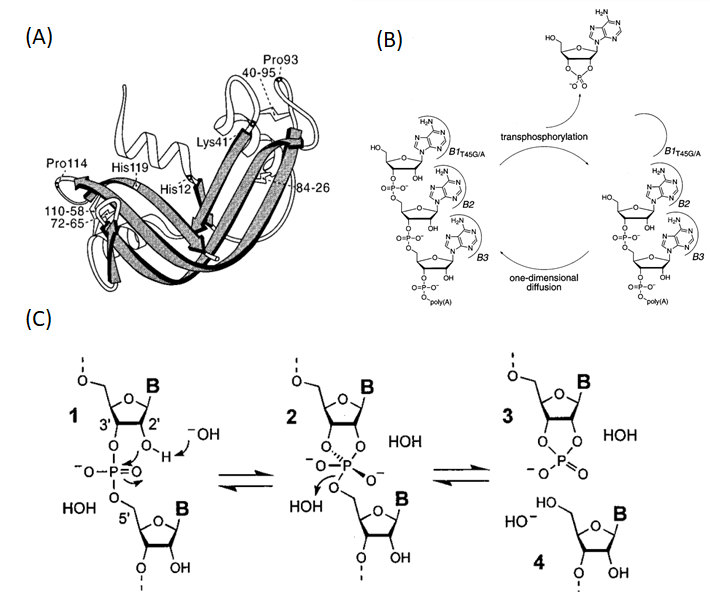 Figure 1  RNA degradation by RNase A and alkaline hydrolysis (1-2). (A) Ribbon structure of RNase A. (B) The putative mechanism of RNA cleavage by RNase A. (C) RNA degradation via alkaline hydrolysis.