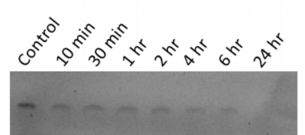 Figure 6  Stability test of DNA weave tile (2HT-DNA-PNNB) stored in human plasma from 10 minutes to 24 hours at 37°C.
