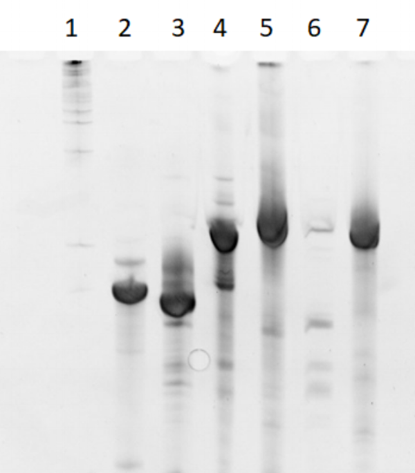 Figure 5  6% denaturing polyacrylamide gel run at 20W for 1 hour. 1 kb ladder (lane 1), 2HO-RNA-NNNN (lane 2), 2HF-RNA-NNNN (lane 3), 2HO-RNA-2NN1 (lane 4), 2HF-RNA-2NN1 (lane 5), 2HO-RNA-1N2N (lane 6),and 2HF-RNA-1N2N (lane 7).