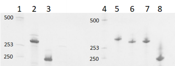 Figure 6  6% denaturing polyacrylamide gel run at 20W for 1 hour. 1 kb ladder (lane 1), 2HO-RNA-1N2N, 279 nt (lane 2), 2HO-RNA-NNNN, 210 nt (lane 3), 1 kb ladder (lane 4), 2HF-RNA-2NN1, 285 nt (lane 5), 2HF-RNA-1N2N, 279 nt (lane 6), 2HF-RNA-12NN,279 nt (lane 7), and 2HF-RNA-NNNN, 210 nt (lane 8).