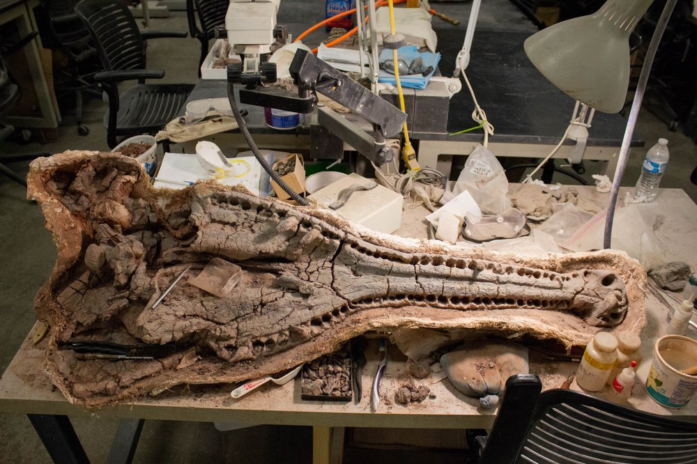 Another large phytosaur skull still equipped with some of its teeth is being prepared in the lab at the Natural History Museum of Utah. Photo by Lauren J. Young