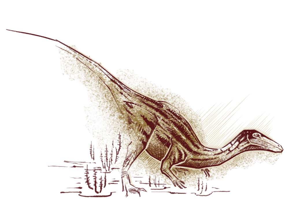 Early dinosaurs, like  Coelophysis  illustrated here ,  were small, but agile creatures that looked like smaller versions of  Tyrannosaurus rex . Paleontologists have found fossils of this early dinosaur in the Chinle Formation in New Mexico. Illustration by Franz Anthony