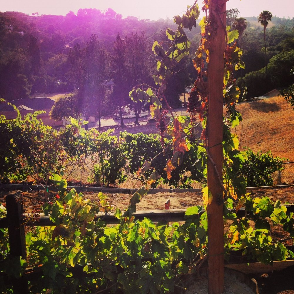 Grapevines