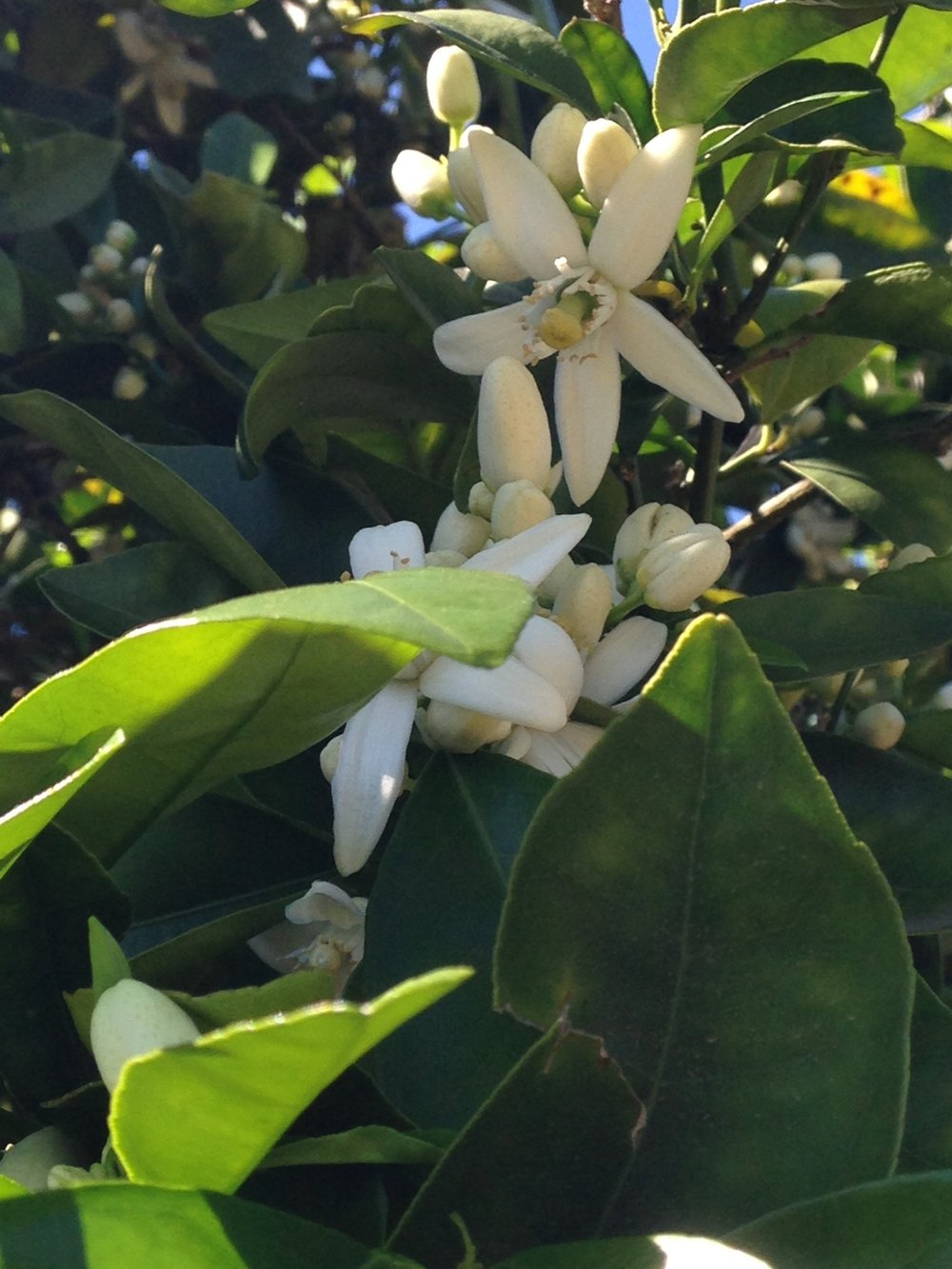The smell of orange blossoms in March is amazing