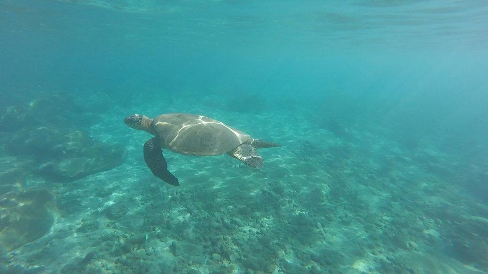 Endangered green sea turtle