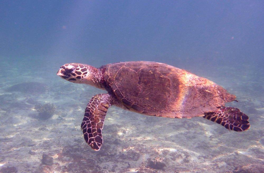 Coiba Hawksbill Turtle 1.jpg
