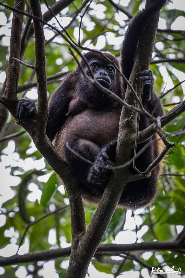 Coiba Howler Monkey