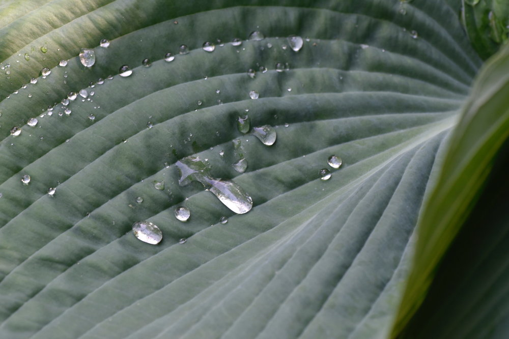 Leafdrops.jpeg