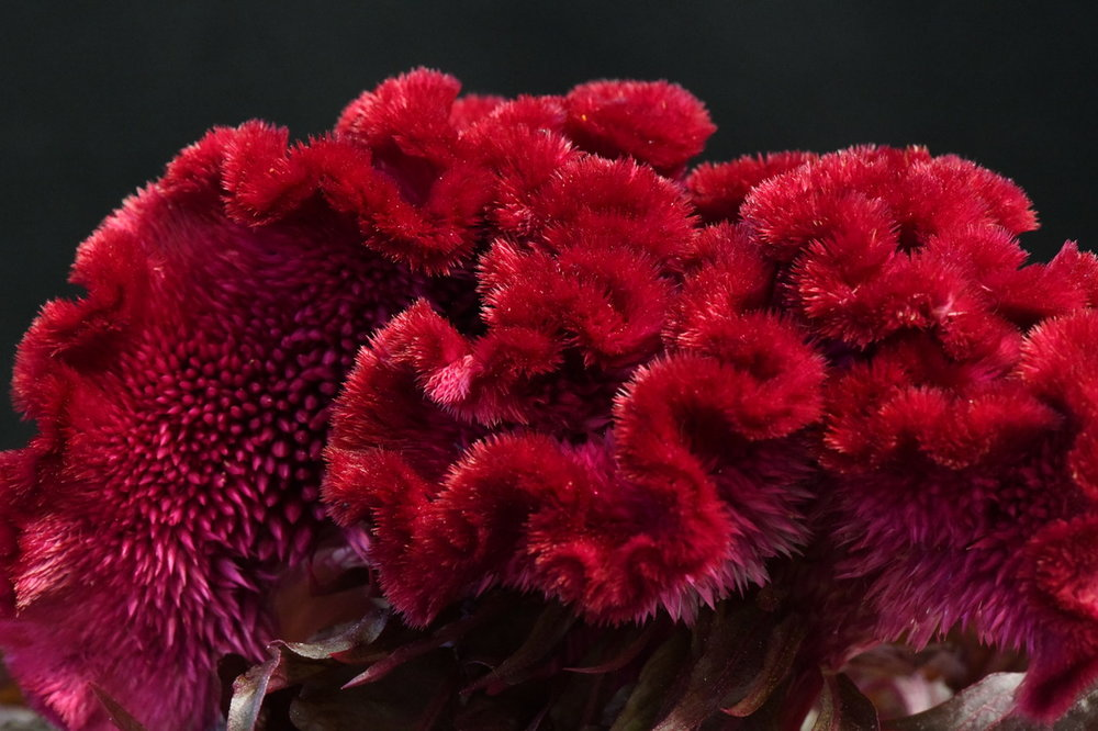 Draculaflower.jpeg