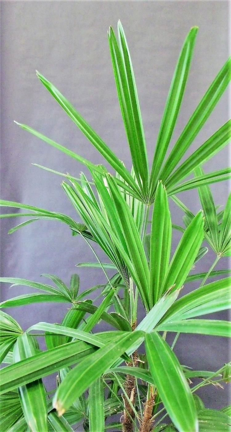 lady palm - Rhipsalis excelsa