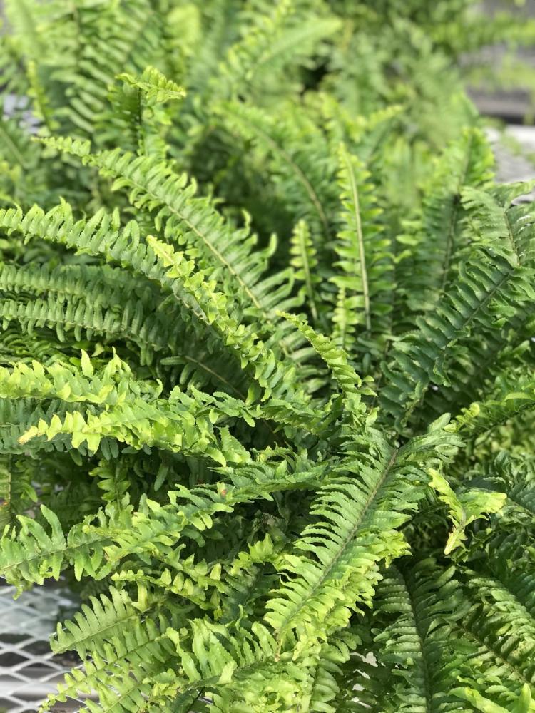 Boston fern - Nephrolepis exaltata